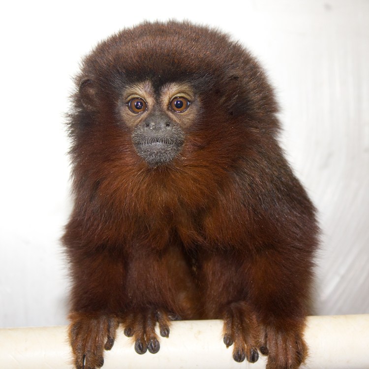 Titi Monkeys – California National Primate Research Center