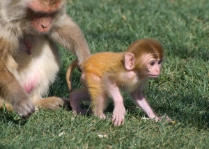 Rhesus macaque mother keeping track of her infant by holding his tail.