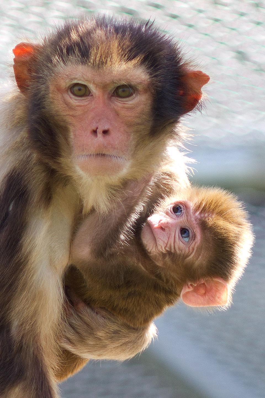 Rhesus Monkey And Newborn Infant California National