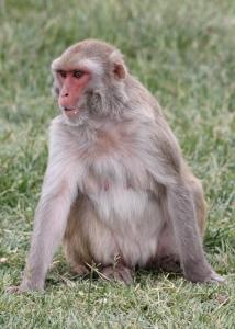 geriatric rhesus monkey