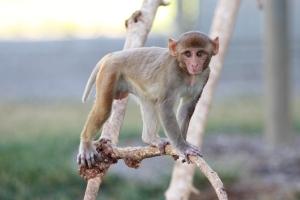 Juvenile rhesus macaque in outdoor housing at CNPRC.
