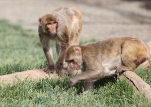 2 rhesus monkeys foraging in grass