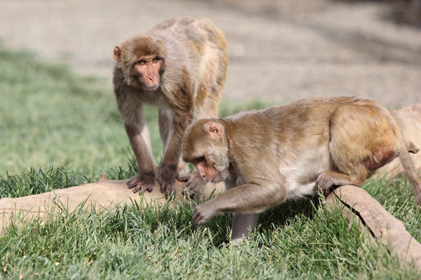 2 rhesus monkeys foraging in grass