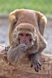 Rhesus monkey at CNPRC outdoors on log