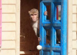 rhesus monkey in playhouse