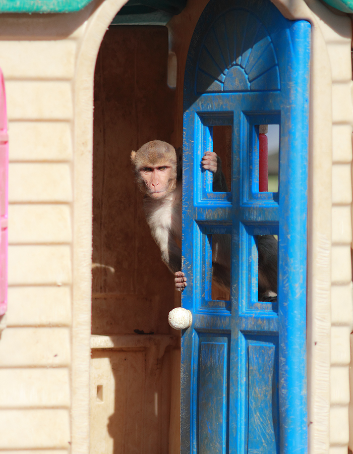 rhesus monkey in playhouse