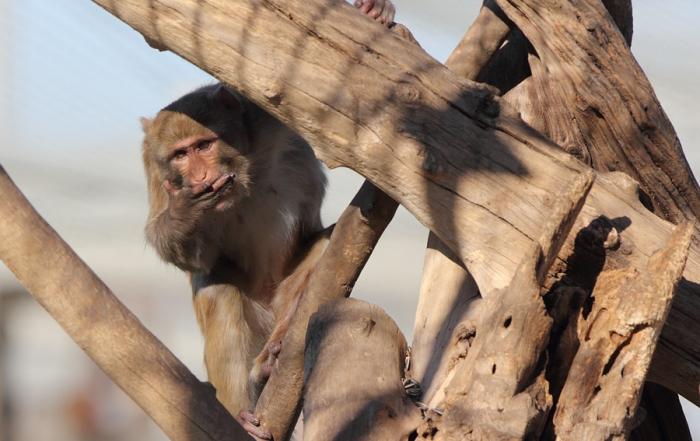 Male rhesus monkey in tree