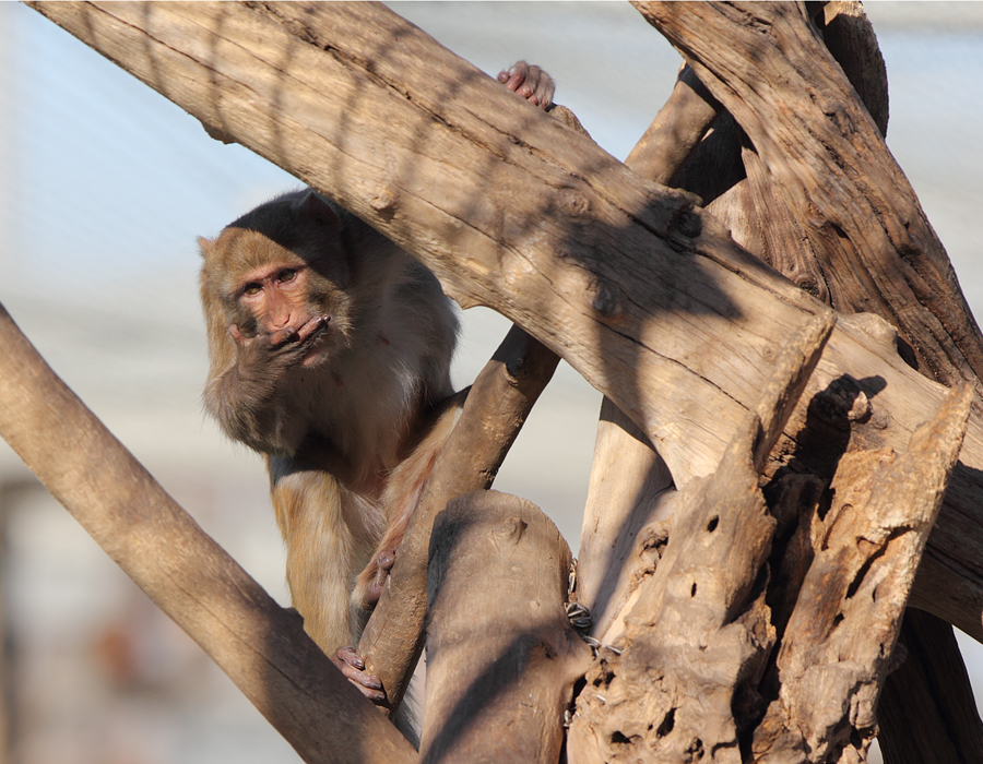 Male rhesus monkey in tree