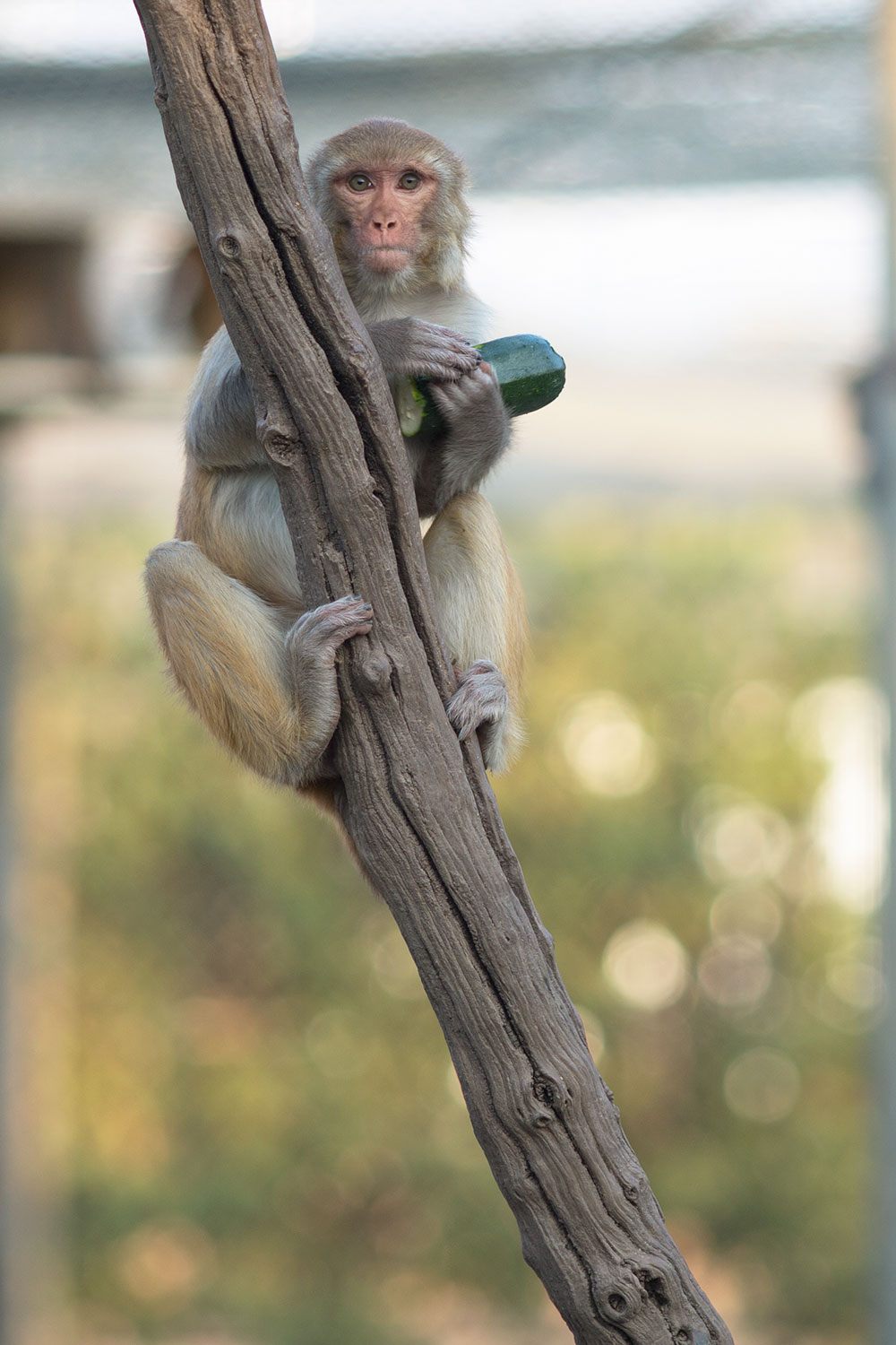 A rhesus monkey hangs onto its zucchini for later enjoyment.
