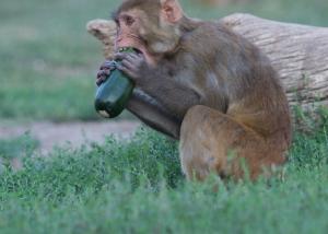 rhesus monkey enjoying a fresh zucchini