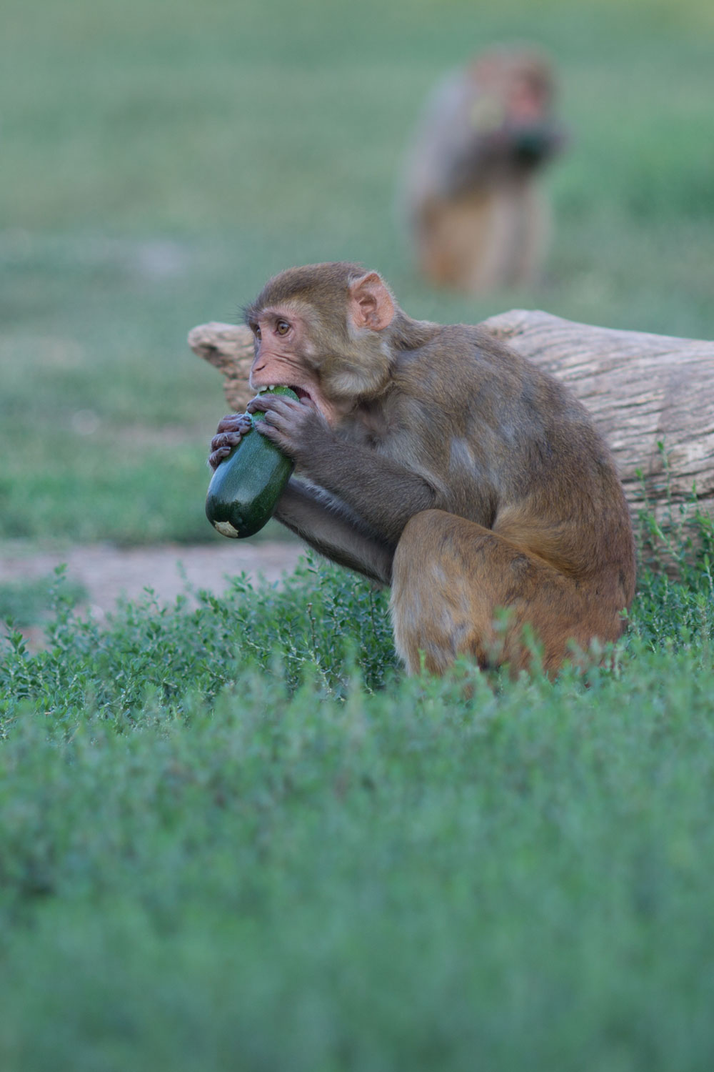 rhesus monkey enjoying a fresh zucchini