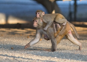 rhesus female with an infant on belly and a juvenile on back