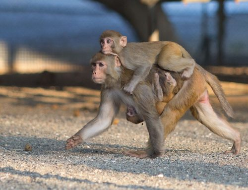 Rhesus female carrying an infant and juvenile