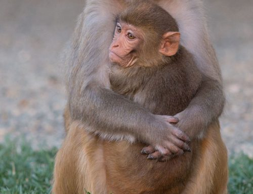 Rhesus female and older juvenile