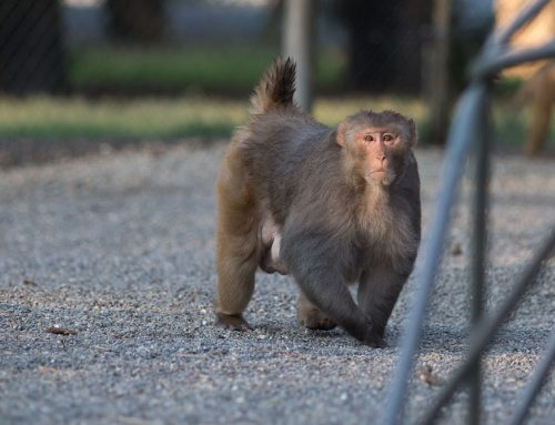 Rhesus male in the early morning light