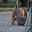 Rhesus male in early morning light