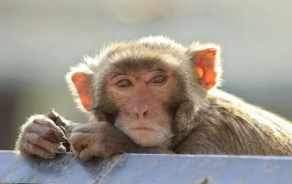 rhesus male at CNPRC