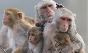 Female rhesus monkeys with infants grooming.