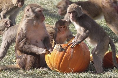 Rhesus macaques enjoy many social activities at CNPRC including a pumpkin feast. CNPRC Photo.