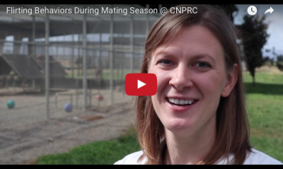 Kelly Finn talks about the type of behavior she's been observing during mating season at CNPRC>