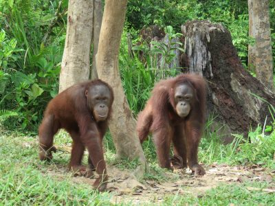 Young orangutans at forest school