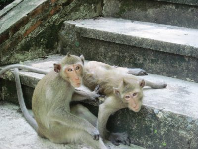 Temple Cynomolgus monkeys observing humans