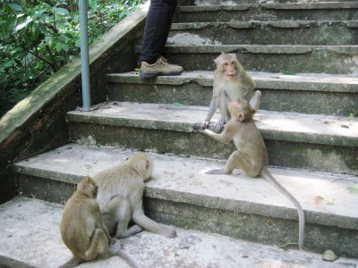 Temple Cynomolgus monkeys at play