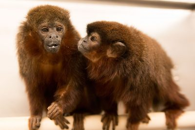 Pair bonded titi monkeys