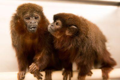 Pair bonded titi monkeys