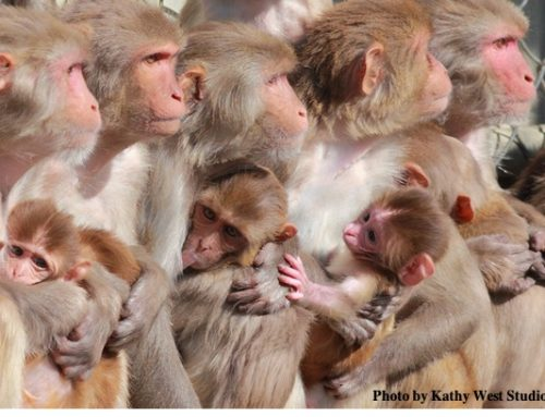 How Researchers are Protecting Non-Human Primates from Measles Outbreak