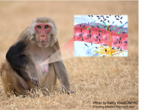 Naturally occurring monkey disorder offers insight for human intestinal disorder