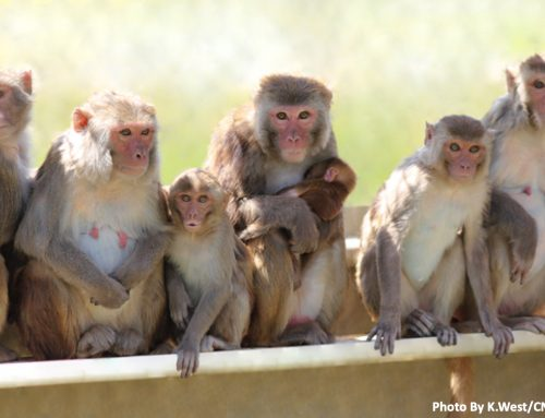 A monkey model of early Alzheimer's Disease: Moving past complications with rodent models